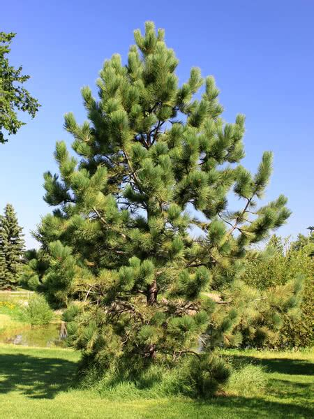 ponderosa pine  sale treetimeca
