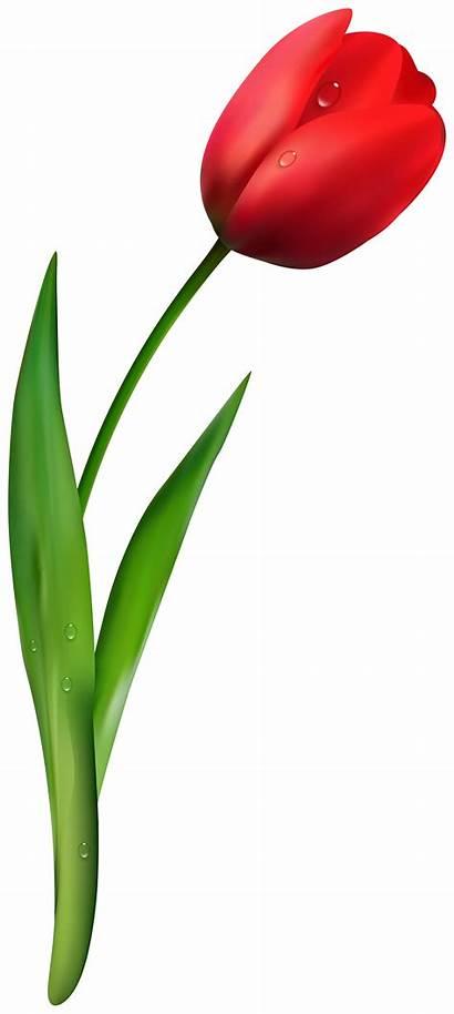 Tulip Flower Transparent Pngio