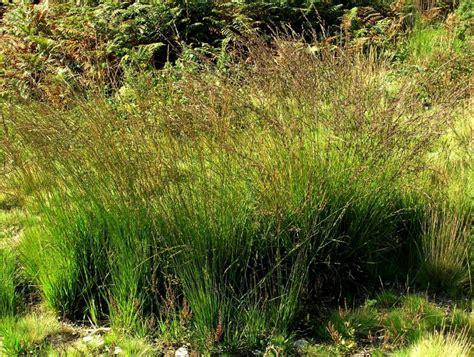Molinia Caerulea  Online Atlas Of The British And Irish Flora