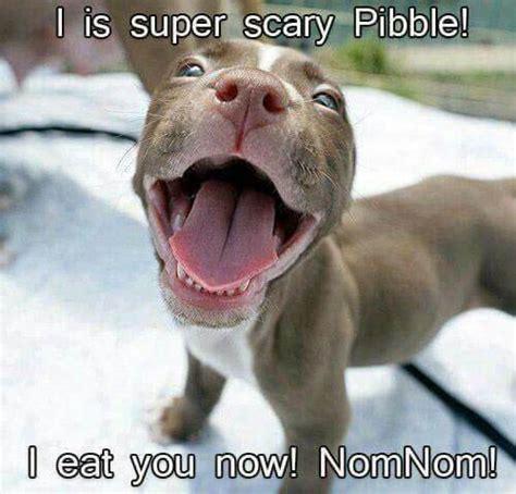 Funny Pitbull Memes - 10 funny pit bull memes petanimalguide com