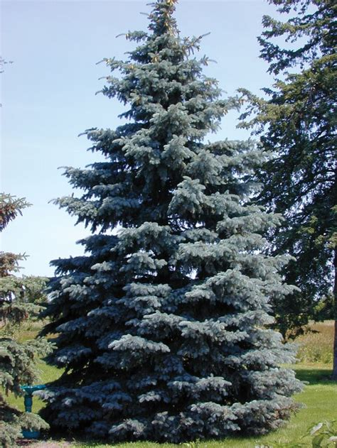 blue spruce colorado blue spruce trees of life pinterest traditional mothers and trees