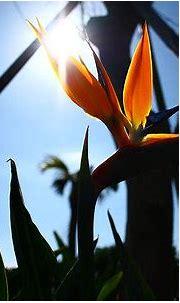 極楽鳥花と言う花: 空と海の物語~from奄美大島~