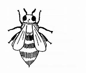 Diagram Of A Honeybee Without Labels
