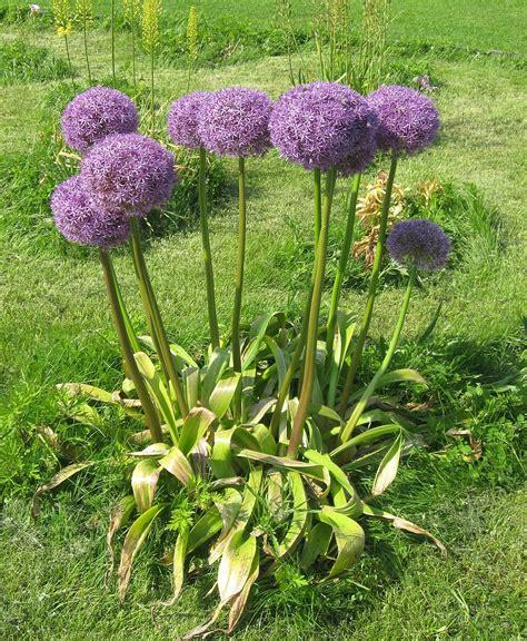 what to plant with allium allium hollandicum wikipedia