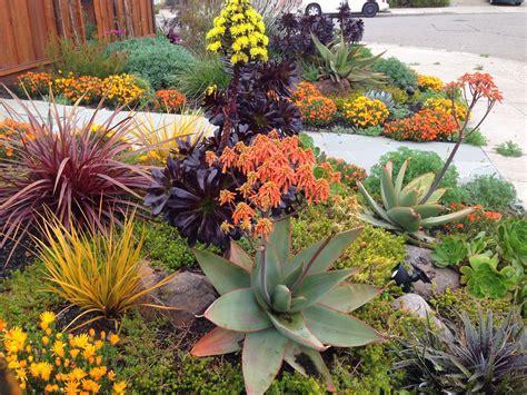 drought resistant garden farallon gardens alameda drought tolerant garden february blooms