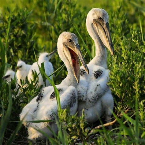 Young Pelicans Bird Beauties Pinterest Brown