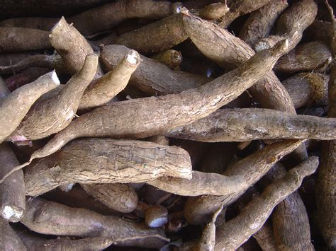 cuisine manioc cassava roots feedipedia
