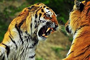 Wild Tiger Population Dropped by 96.8% in 20 Years ...