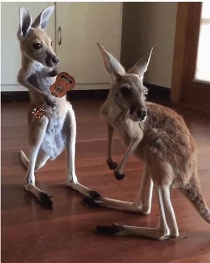 Kangaroo Gifs Giphy Dance Animated Tweet