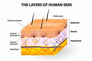 Topical Application And Anatomy Of The Skin