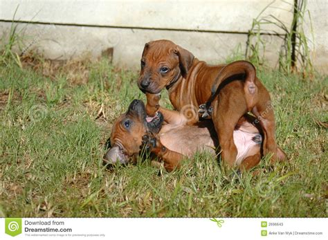 Rhodesian Ridgeback Puppy Shedding by Rhodesian Ridgeback Puppies Stock Image