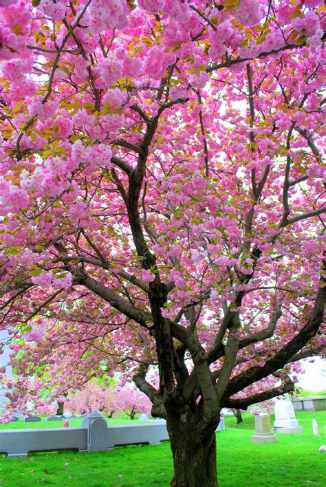 trees with pink blossoms mille fiori favoriti pink saturday pink trees