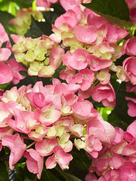 hydrangea flower care 25 best ideas about mophead hydrangea on pinterest care of hydrangeas hydrangea fertilizer