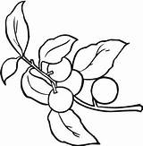 Berries Coloring Pages Berry sketch template