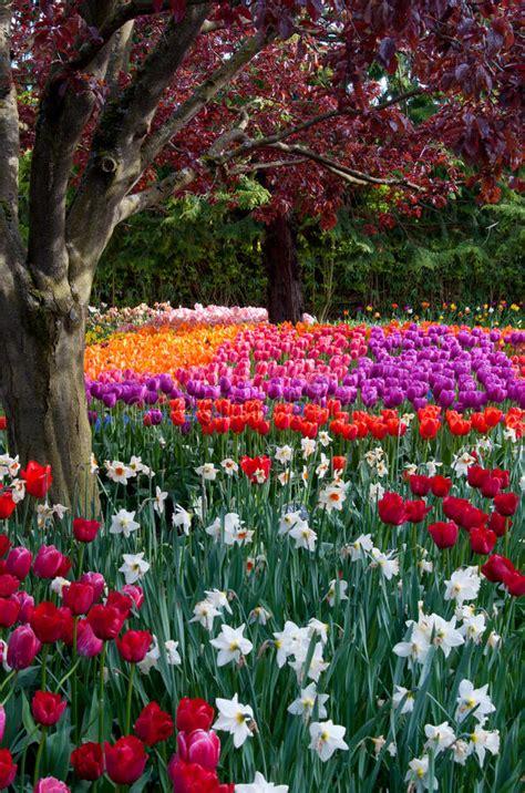 tulip flower garden free stock flower tulip garden tulip festival stock photo image of bench keukenhof 30993798