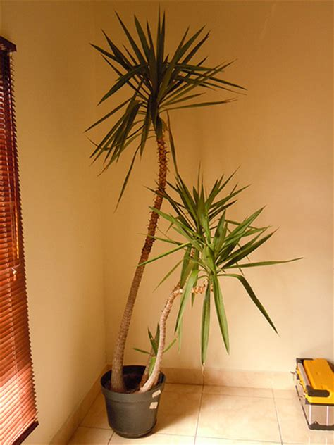 different types of palm plants indoor palm tree this indoor palm tree is about 2