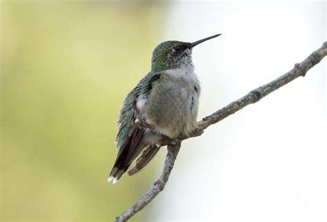hummingbird sitting on a branch photograph by lori tordsen