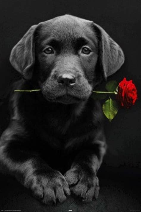 iphone wallpaper valentines day tjn cute dogs black