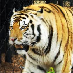 LSU Mike the Tiger 1