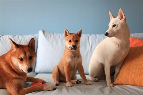 Do Shibas Shed A Lot by Shibainubreeder Shiba Inu Puppies For Sale Information