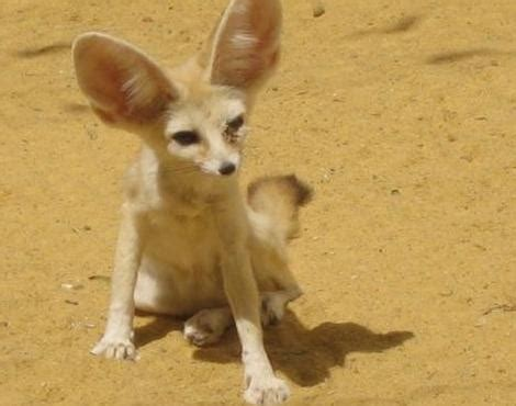 Picture 5 of 12 - Fennec Fox (Vulpes Zerda) Pictures
