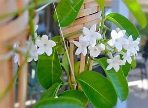 Jasmin Pflanze Pflege : kranzschling stephanotis floribunda pflege vermehrung majas pflanzenwelt ~ Markanthonyermac.com Haus und Dekorationen