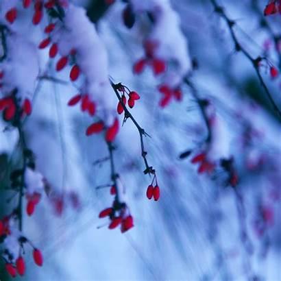 Ipad Winter Berries Snowy Branch Wallpapers Nature