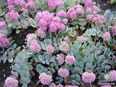 sedum with pink flowers sedum sieboldee 40cm spread pink flowers late bloomer not evergreen red edge with gray