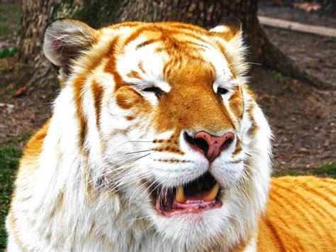 The Golden Tabby Tiger Fennecx Deviantart