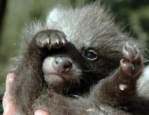 Raccoon Dog Pups | Baby Animal Zoo