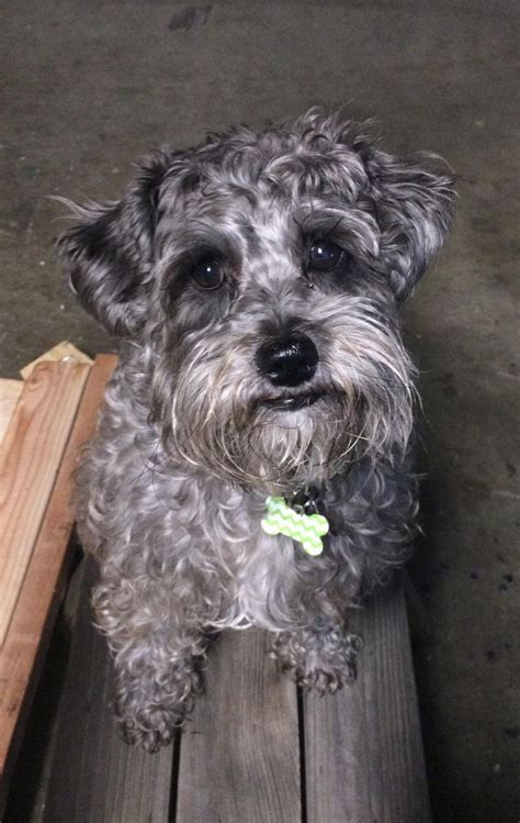 schnoodle face httpiftttpviwaa schnoodle