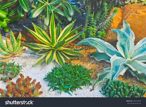 Cactus Succulent Garden Thailand Stock Photo 234310390 ...