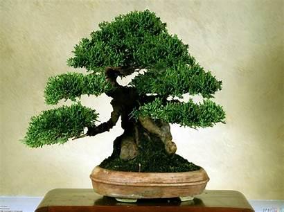 Bonsai Tree Trees Japanese Classification Wallpapers Desktop