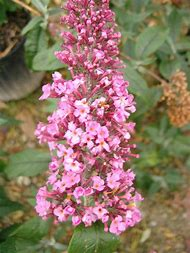 Best 25 ideas about flowering shrub identification find what you flowering bush with pink flowers mightylinksfo