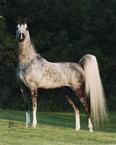 Dapple grey Arabian stallion | Horses | Pinterest