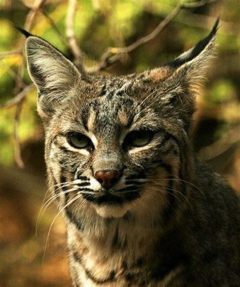 27 Best Bobcat Reference Images On Pinterest Lynx