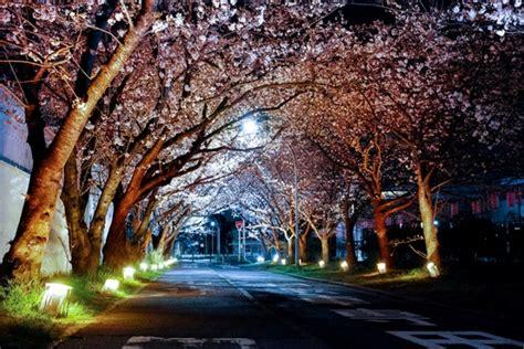 stock   cherry blossom pexels