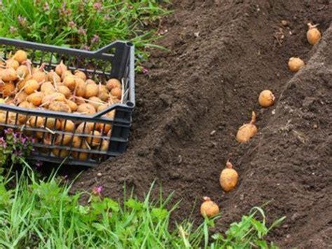 Calendrier Lunaire Plantation Pomme De Terre by Planter Et R 233 Colter La Pomme De Terre