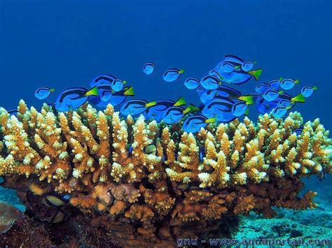 paracanthurus hepatus dory poisson chirurgien 224 palette chirurgien bleu 233 levage