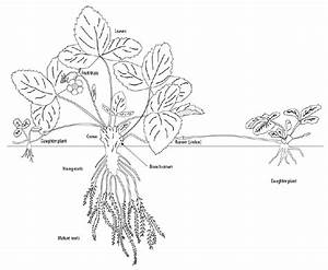 Morphology Of A Typical Strawberry Plant And Its Runners  Mature