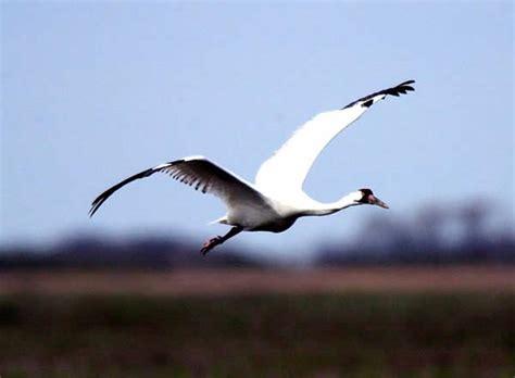 whooping crane information