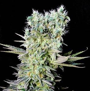 Northern Lights X - Feminized cannabis seed