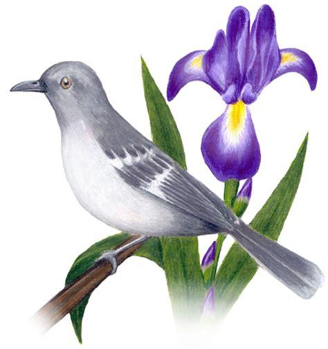 tennessee state bird  flower mockingbird mimus