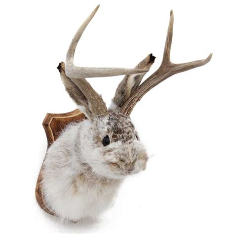 Springbok Rug by Jackalope Taxidermy Mounts For Sale And Taxidermy