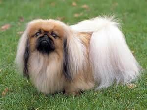 pekingese chihuahua mix temperament dog breeds picture