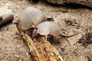 Nine-Banded Armadillo - Animal Facts and Information