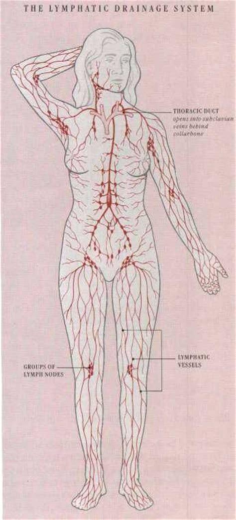 Lymphatic System Ecosia