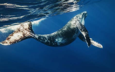 Best Hd Whale Photo by Whale Wallpaper Wallpapersafari