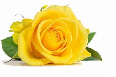 Yellow Rose Roses Royalty Similar Istock