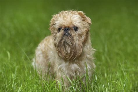20 Small dog breeds that are the cutest creatures on the ...